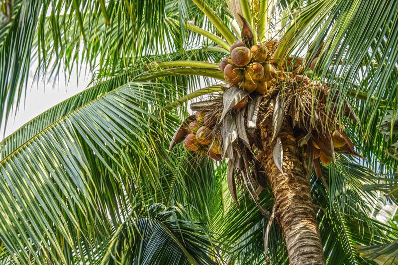 Kokospalme Kokosnuss