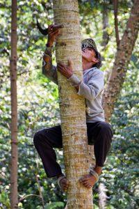 Kokosnuss Ernte Palmenkletterer