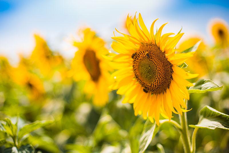Projekt_Sonnenblume